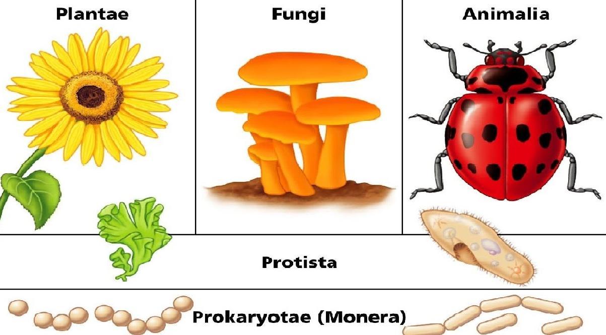Monera Protista Fungi Plantae And Animalia Kingdoms Characteristics Modes Of Nutrition Body Organization De S