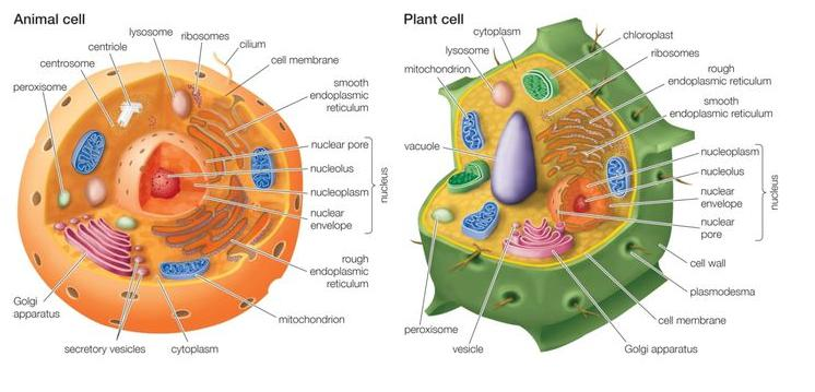 cell organelles found in both plant cell and animal cell and detailsDiagram Of Cell Organelles Name #13