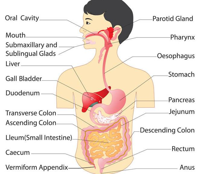 Human Digestive System Definition Mechanism Parts And Importance