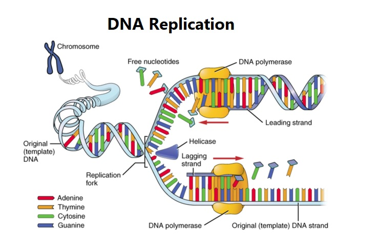 Dna Replication Diagram Just Wiring Data