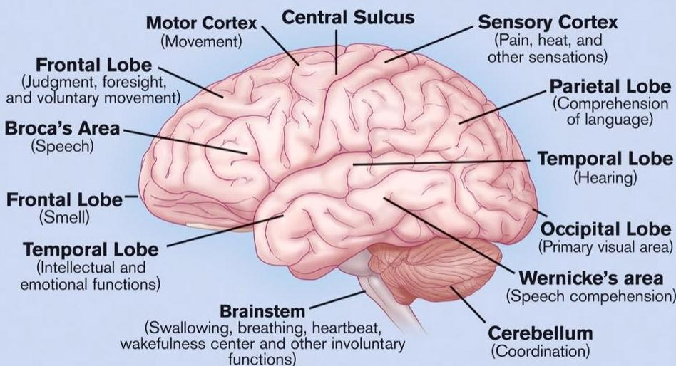 Nervous System: Brain, structure of the brain, parts and ...