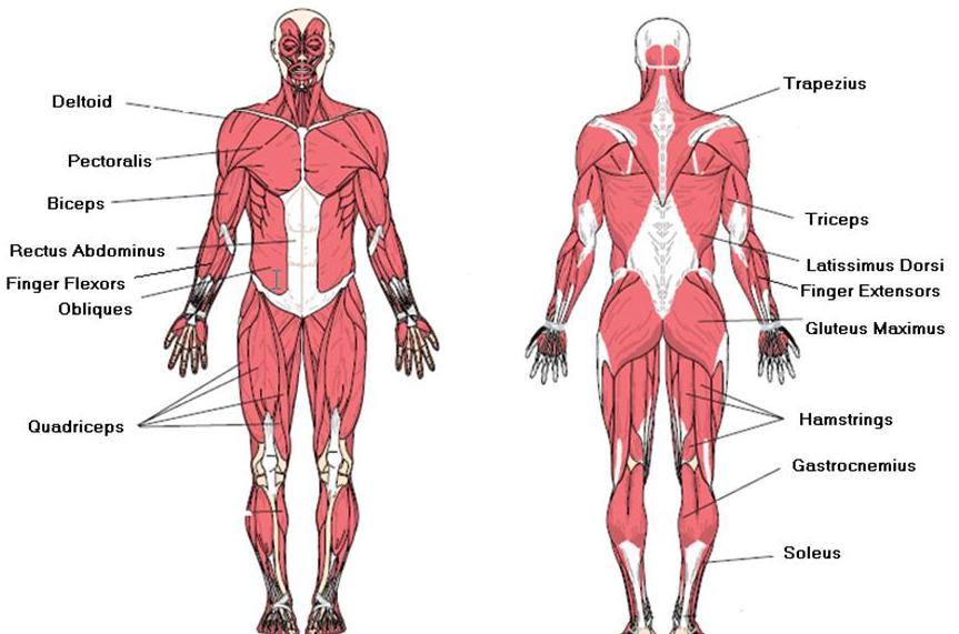 muscular system structure